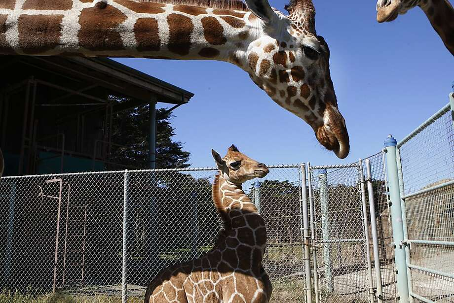 The zoo's new baby, who has no name yet, is nearly 6 feet tall, but her 15-foot mama, Kristin (top), and 16-foot papa, Floyd (above right), tower over her. Photo: Liz Hafalia, The Chronicle