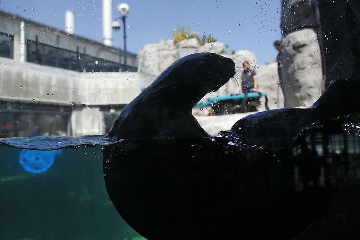 Southern sea otters swim in their tank at the Monterey Bay Aquarium in Monterey, Calif., on Thursday, May 23, 2013.