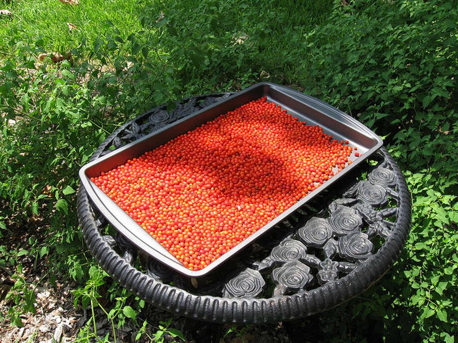 Texas  State native pepper: Chiltepin