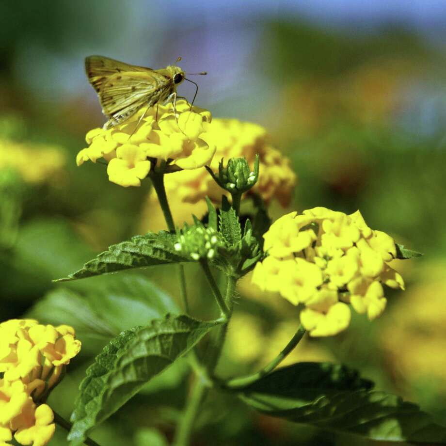 'New Gold' lantana does not produce seeds. Photo: Courtesy Neil Sperry