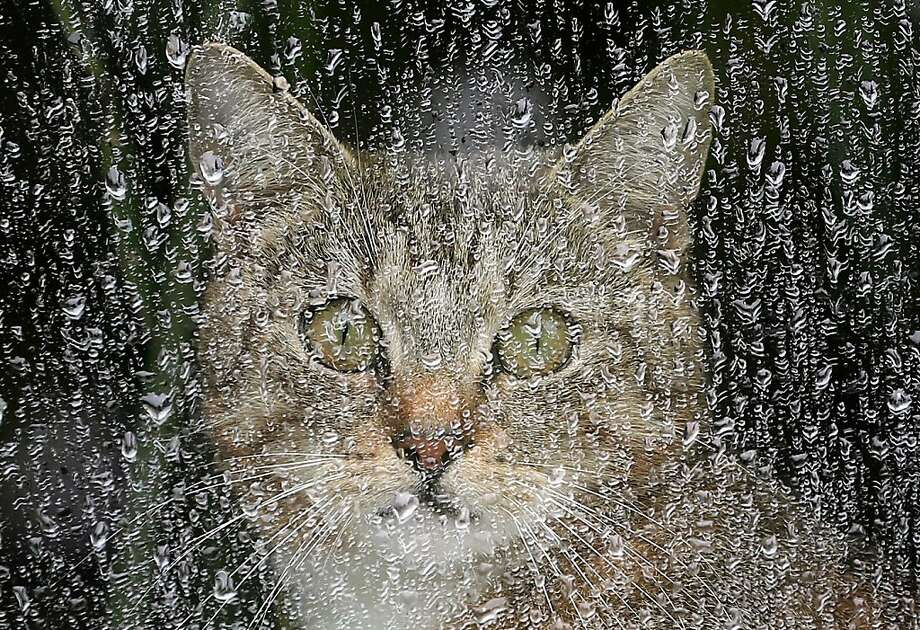 There will be no hunting for birdies today: It's raining cats and dogs in Berlin, so this kitty is staying inside. Photo: Wolfgang Kumm, Associated Press