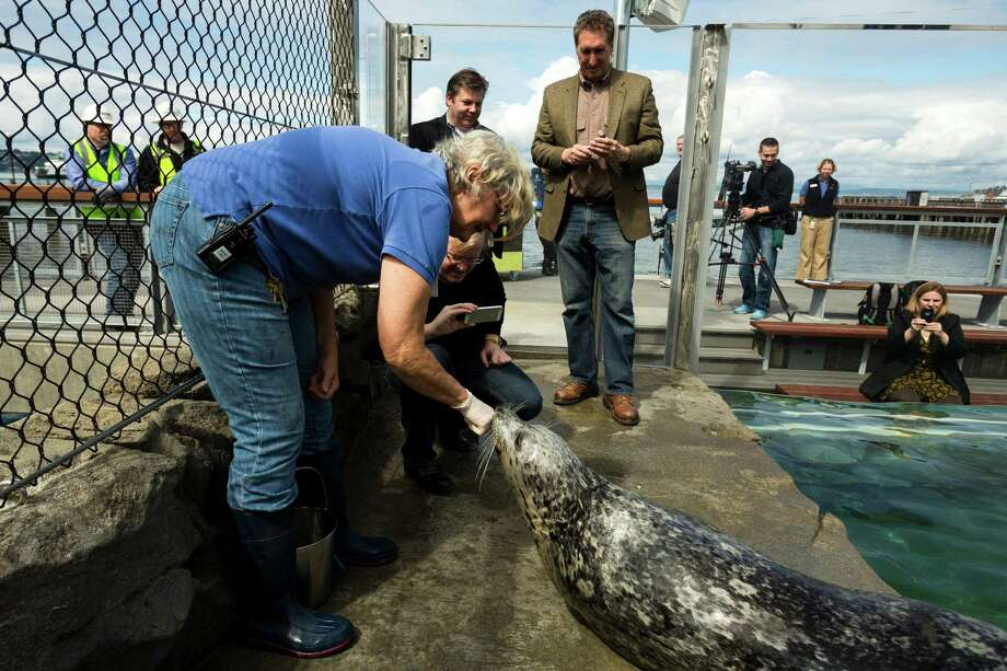 Harbor seals take part in feeding time in their new and improved home Friday May, 31, 2013, at the Seattle Aquarium on the Seattle waterfront. The improved exhibit boasts increased water depth, seating for up to 100 guests, a clear acrylic tank and a closer look at the animals from a child's height. The exhibit opens at 9:30 a.m. on June 1. Photo: JORDAN STEAD, SEATTLEPI.COM / SEATTLEPI.COM