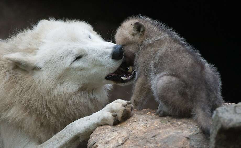 Fun game of Bite Your Face Off, Mom! A wolf plays with her 1-month-old puppy in their enclosure at the Berlin Zoo. Photo: Johannes Eisele, AFP/Getty Images