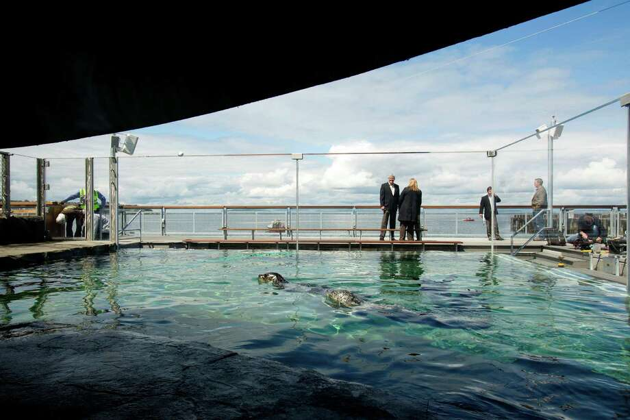 Harbor seals enjoy their newly improved home Friday May, 31, 2013, at the Seattle Aquarium on the Seattle waterfront. The improved exhibit boasts increased water depth, seating for up to 100 guests, a clear acrylic tank and a closer look at the animals from a child's height. The exhibit opens at 9:30 a.m. on June 1. Photo: JORDAN STEAD, SEATTLEPI.COM / SEATTLEPI.COM