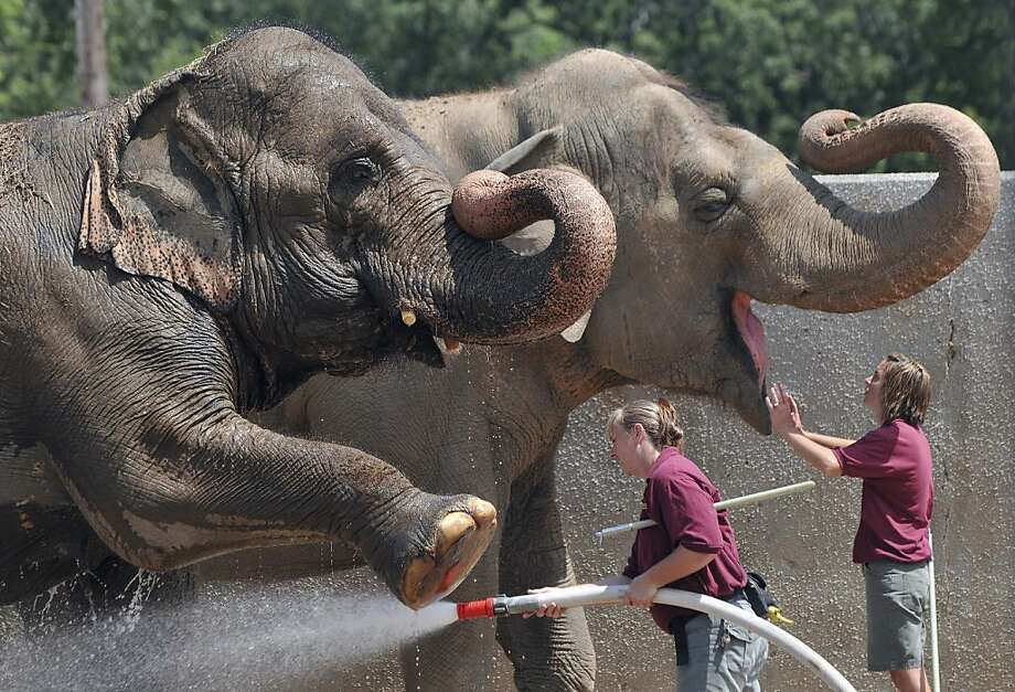Pedicure and a facial: Zookeepers give Sophie and Babe the spa treatment at the Niabi Zoo in Coal Valley, Ill. Photo: Paul Colletti, Associated Press
