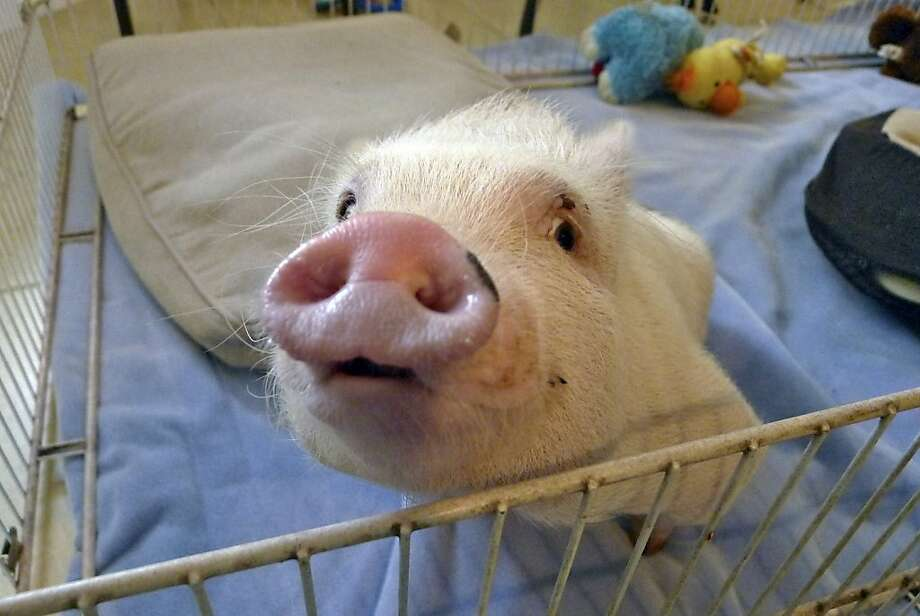 How to make pork roll: Born without use of his legs, Chris P. Bacon the potbellied pig uses a special wheeled harness to get around when he's out of his pen. Veterinarian Dr. Len Lucero adopted the porker and fashioned the device after a woman brought the pig to his clinic in Sumterville, Fla.. Photo: Tamara Lush, Associated Press