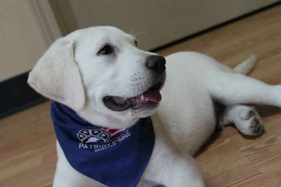 Hoffy, a 10-week-old Lab, will be trained by Patriot PAWS to be a service dog for a wounded veteran. He was named for columnist Ken Hoffman.
