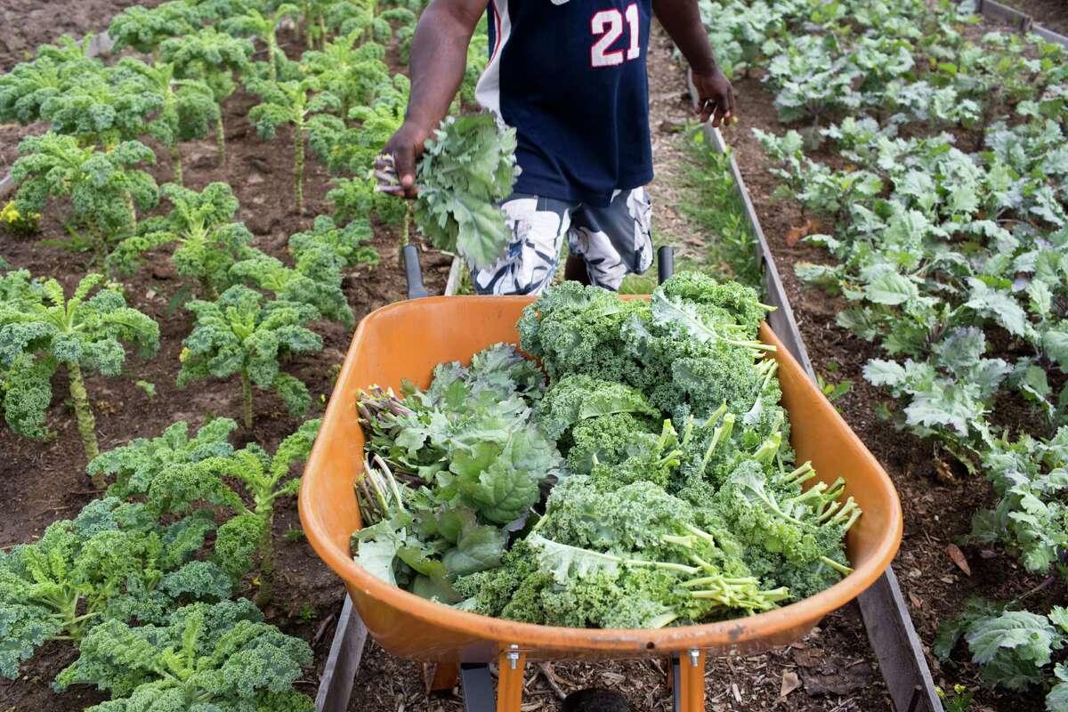 Alain Banoungouzouna transports bundles of recently harvested kale at Plant It Forward's training farm.