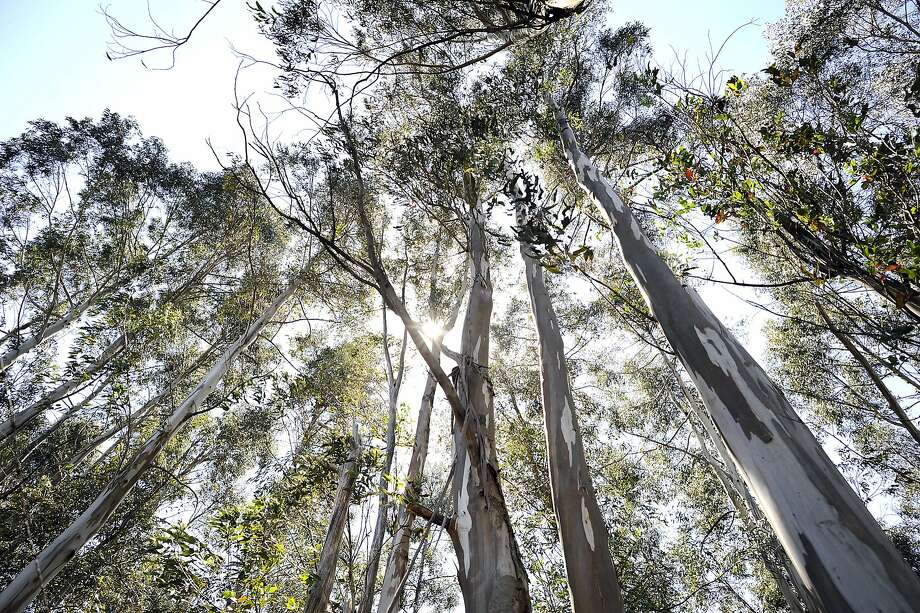 Eucalyptus trees stand on a hill above Claremont Canyon in the Oakland/Berkeley Hills on Friday May 31st, 2013. UC Berkeley's plans to cut down up to 45,000 trees in the Claremont Canyon area as a fire prevention measure, Photo: Michael Short, Special To The Chronicle