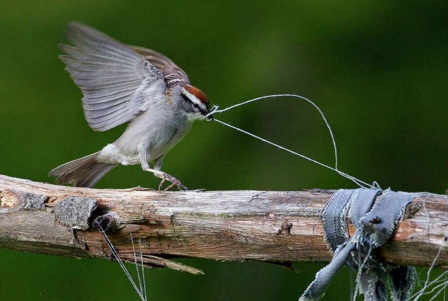 A chipping sparrow tugs on some loose threads of weathered clothing while gathering nest-building materials in a garden, Thursday, May 30, 2013, in Freeport, Maine. Photo: AP
