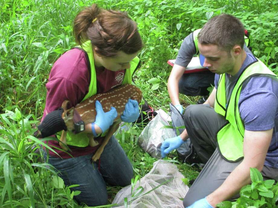 In this May 28, 2013 photo, Stephanie Raiman, left, and Adam McDaniel weigh a fawn wearing a tracking collar new Bloomington, Ind.   A Ball State research team has been capturing and collaring fawns for a study of deer in the Bloomington area. Photo: AP