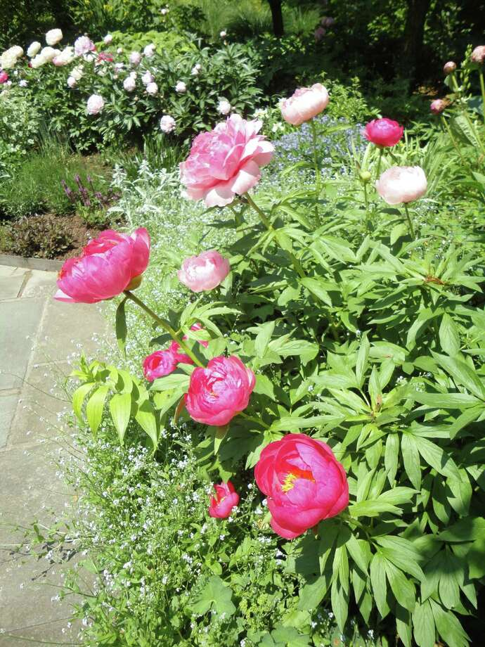 Peonies (Paeonia lactiflora) Photo: Meg Barone / Westport News contributed