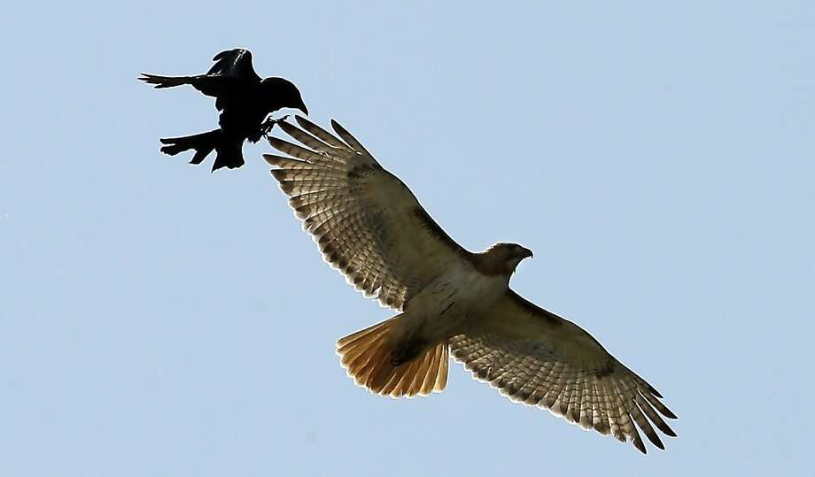 Raven vs. Seahawk? A crow chases a hawk above the Buffalo Bills practice 
