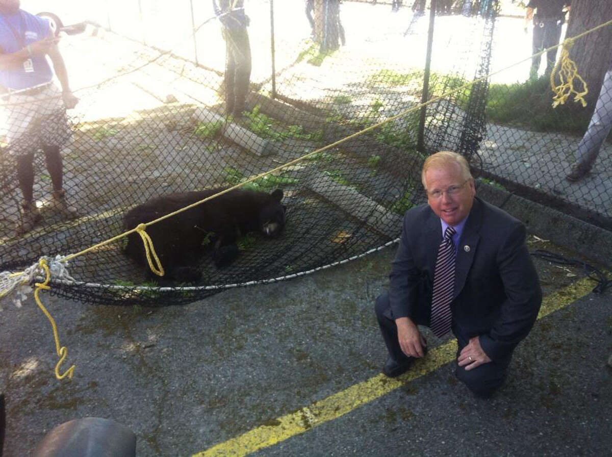 Mayor Mark Boughton and a bear captured by the DEEP after wandering around downtown Danbury June 4.