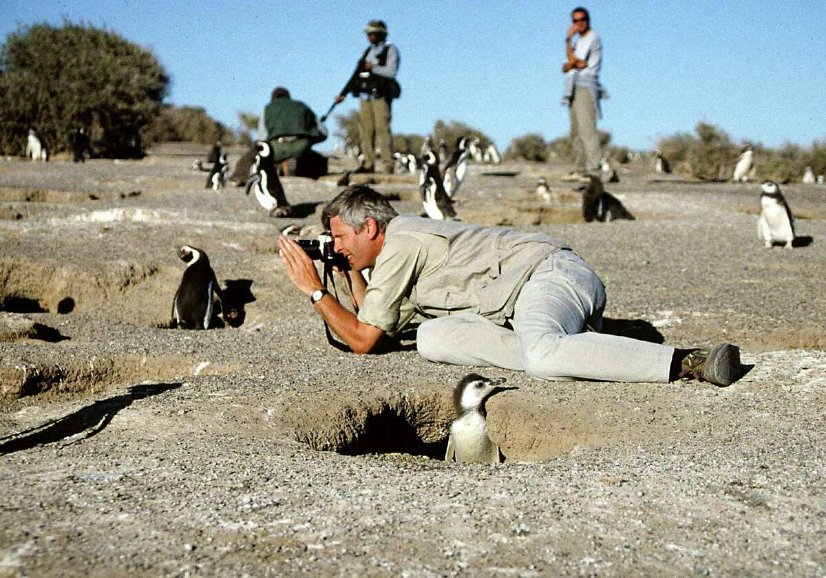 A photographer gets up close and personal with a penguin. Some nature experts disagree on whether nature photography is good or bad for the environment.