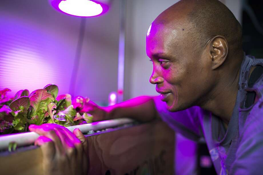 Eric Maundu, founder of Kijani Grows, examines the harvest from his automated and programmed aquaponics system. Photo: Dan Evans/Special To The Chronic