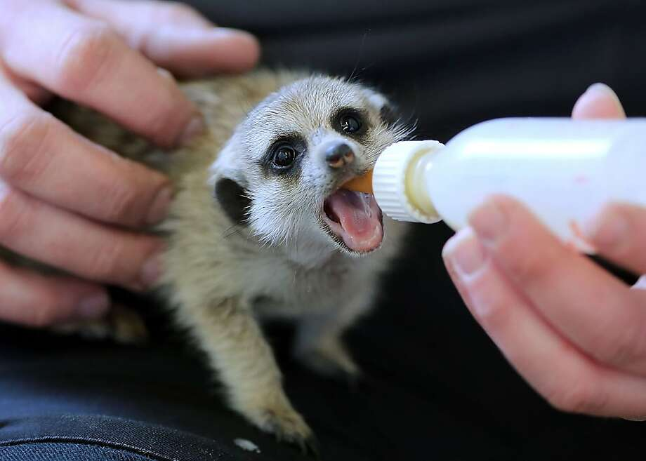Breakfast in a bottle:Mom wouldn't feed this meerkat baby so it up to the zookeepers in Aachen, Germany. Photo: Oliver Berg, AFP/Getty Images