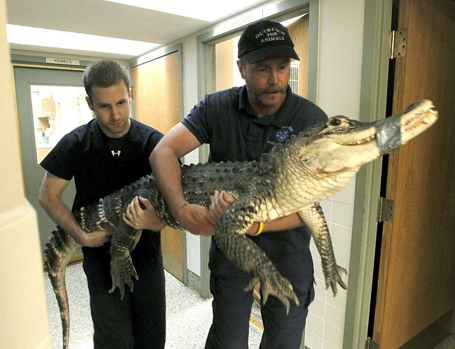 What's behind the cellar door:In Ohio, and probably many other states, keeping a seven-foot alligator in your basement is illegal. The owner of this one in Dayton may be charged with animal cruelty, authorities said. Photo: Lisa Powell, Associated Press
