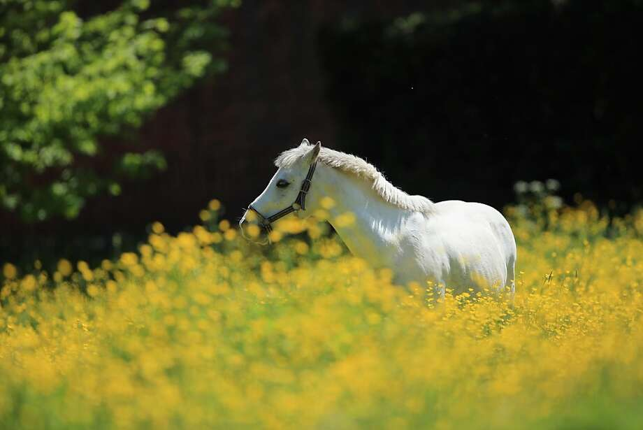 A horse grazes in a field of blooming buttercups outside the village of Lapley in South Staffordshire, England. Photo: Christopher Furlong, Getty Images