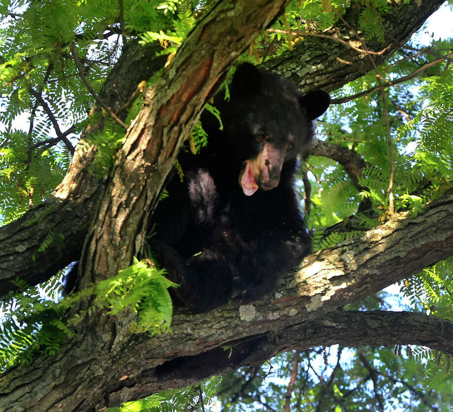 A 250 pound black bear is discovered in a tree along West Wooster Street in Danbury, Conn. Tuesday, June 4, 2013. Department of Energy and Enviormental Protection workers tranquilized him and he dropped into a net set up by the Danbury Fire Dept. Photo: Michael Duffy / The News-Times