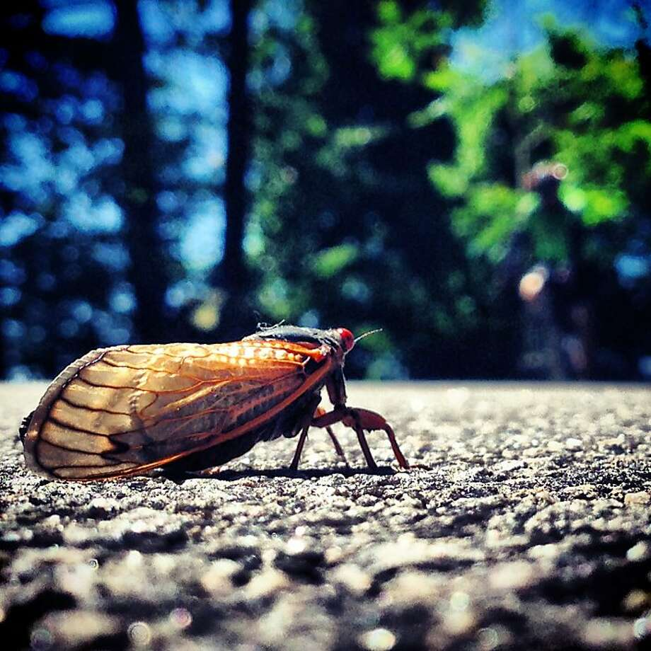 Danger, knobby tires!A cicada tries to cross a bike path under the George Washington Bridge in Fort Lee, N.J., before the cyclist at right arrives. Photo: Marko Georgiev, Associated Press