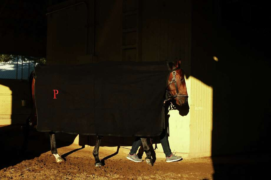 ELMONT, NY - JUNE 04:  Kentucky Derby winner Orb is walked in his stall after a morning workout at Belmont Park on June 4, 2013 in Elmont, New York. Photo: Al Bello, Getty Images / 2013 Getty Images