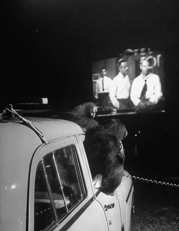 Viki the chimpanzee sitting in a car at the drive-in movie in 1951. Photo: Mark Kauffman, Time & Life Pictures/Getty Image / Time Life Pictures