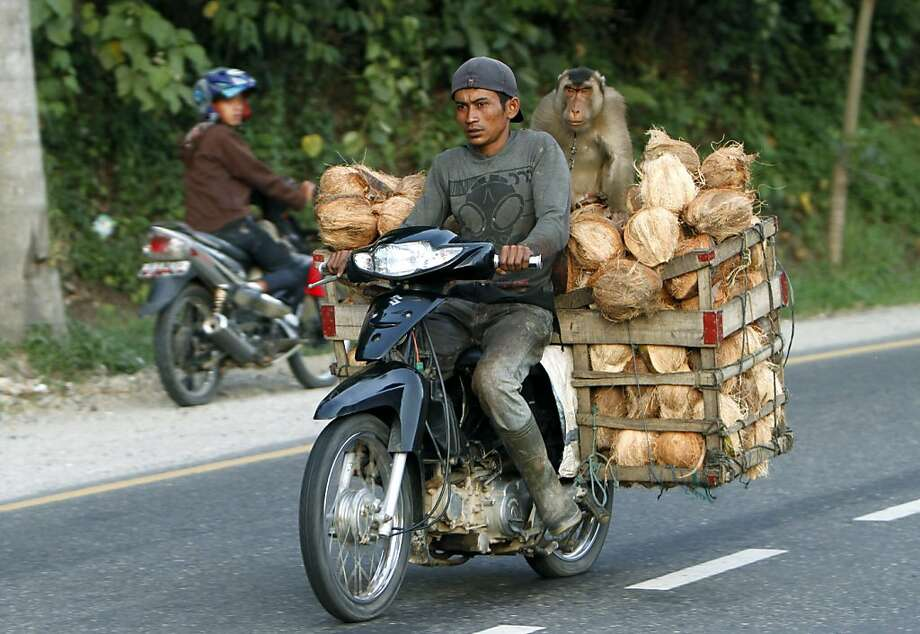 You want a raise, eh? Please. A trained monkey could do your job: A coconut peddler and his assistant haul a load to market in Sawah Lunto, West Sumatra. Macaques are commonly used in West Sumatra to pick and harvest coconuts. Photo: Tatan Syuflana, Associated Press