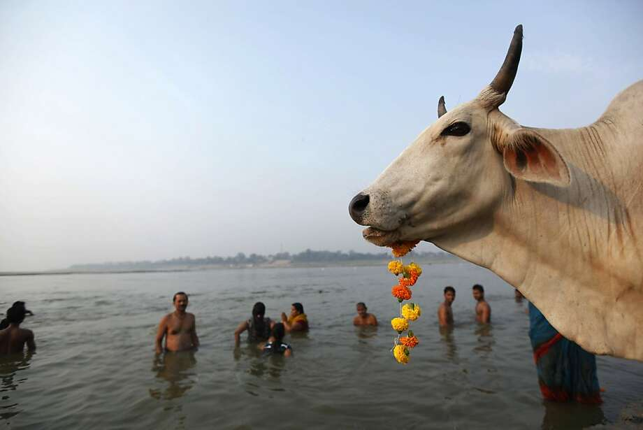 Brahman noodle: A cow munches a flower garland as Hindu devotees take a holy dip in the River Ganges in 