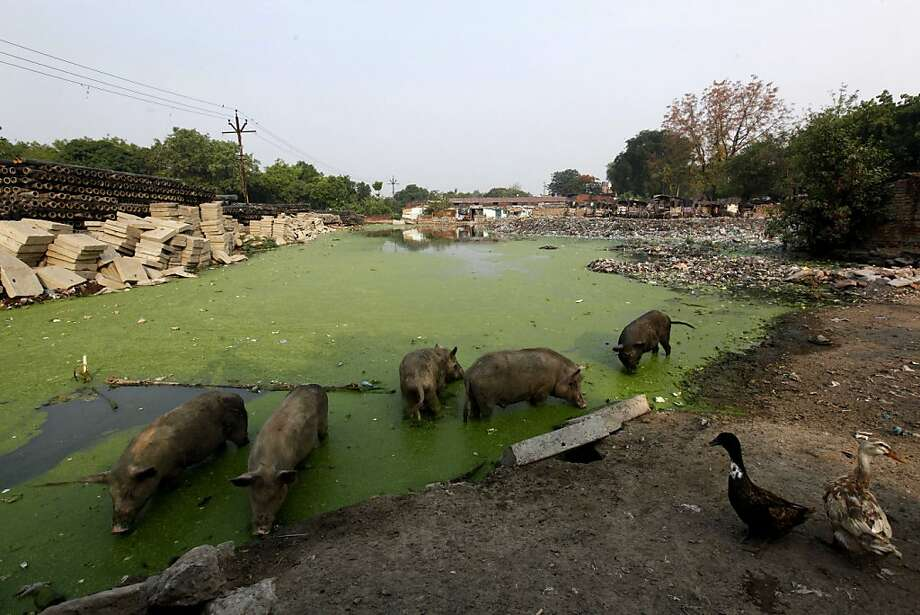 As usual. Hogging all the good stuff: On World Environment Day  in Allahabad, India, geese watch pigs feeding on garbage in a slimy pond filled with plastic and other refuse. Photo: Rajesh Kumar Singh, Associated Press