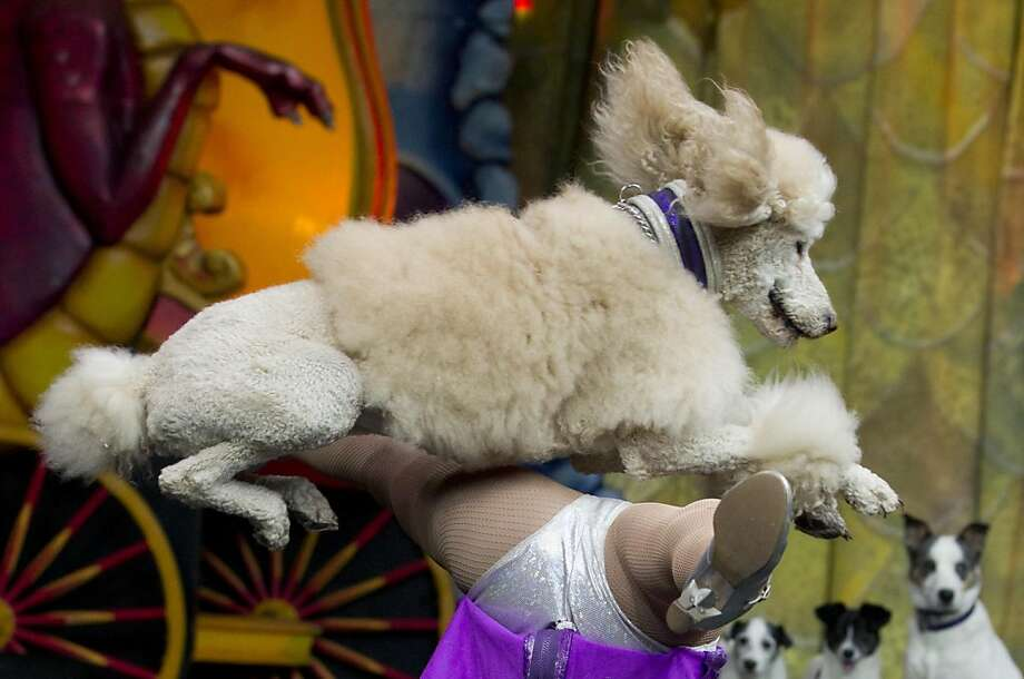 """Klose encounter:A poodle leaps over trainer Maria Klose during her Ringling Bros. and Barnum & Bailey Circus dog act in Mexico City. Klose and her K-9s were practicing for their production of the spectacle """"Dragons."""" Photo: Eduardo Verdugo, Associated Press"""