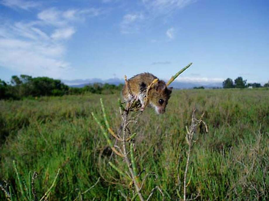 The salt marsh harvest mouse is a federally listed species that is affected by the health of the Sacramento-San Joaquin delta. Photo: M. Bias, U.S. Interior Department