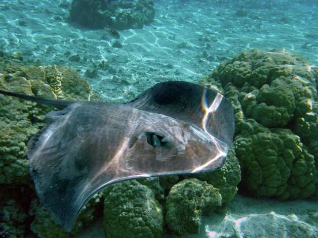 Stingrays have sharp barbs that have toxins and bacteria that can cause severe pain of unlucky beachgoers who step on them. Photo: McClatchy-Tribune News Service / Los Angeles Times