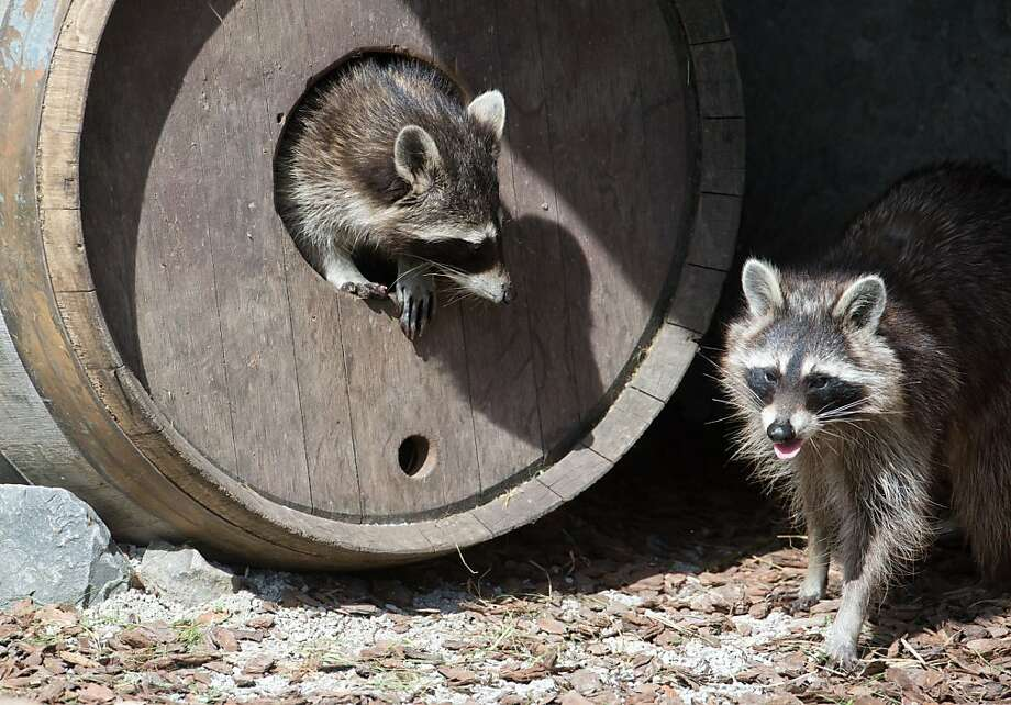 Raccoon kegger! It's pledge week at Tappa Kegga Coon. The brothers are going to be drunk 