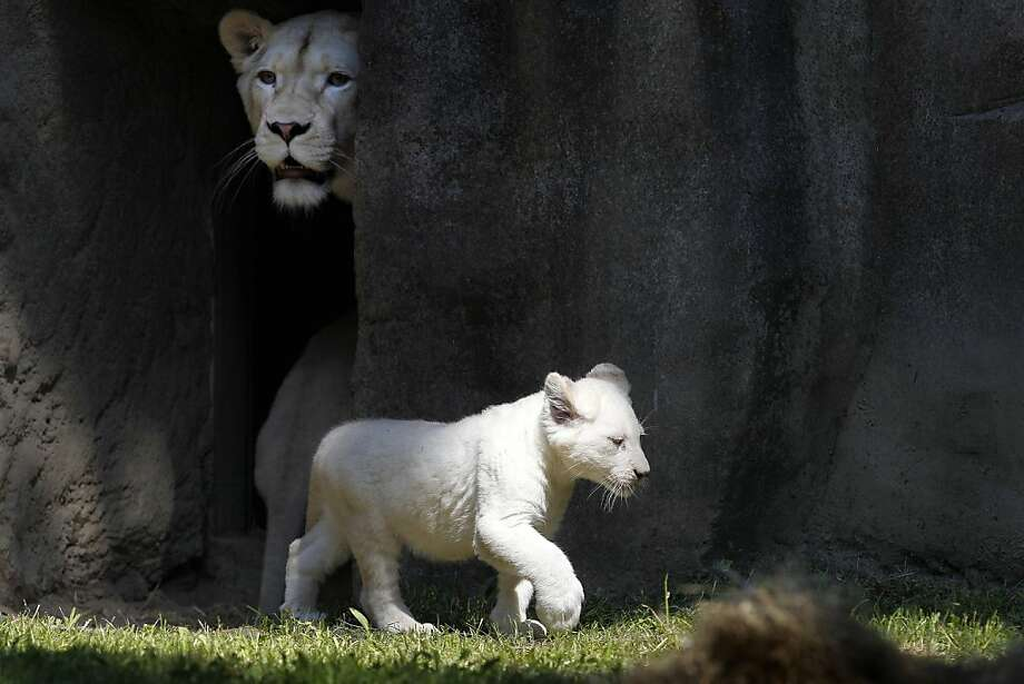 Bandhura keeps a lookout as one of her two cubs explores their enclosure in front of a paying audience for the first time at the Ouwehands Zoo in Rhenen, Netherlands. Photo: Bas Czerwinski, AFP/Getty Images