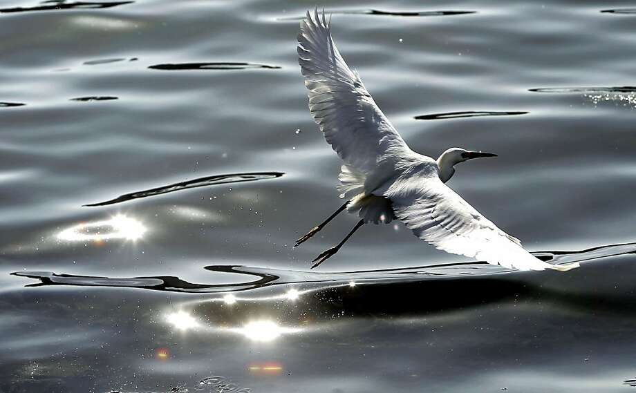 This way to the egrets: A Snowy Egret skims the surface of Lake Merritt in Oakland. Photo: Michael Macor, The Chronicle
