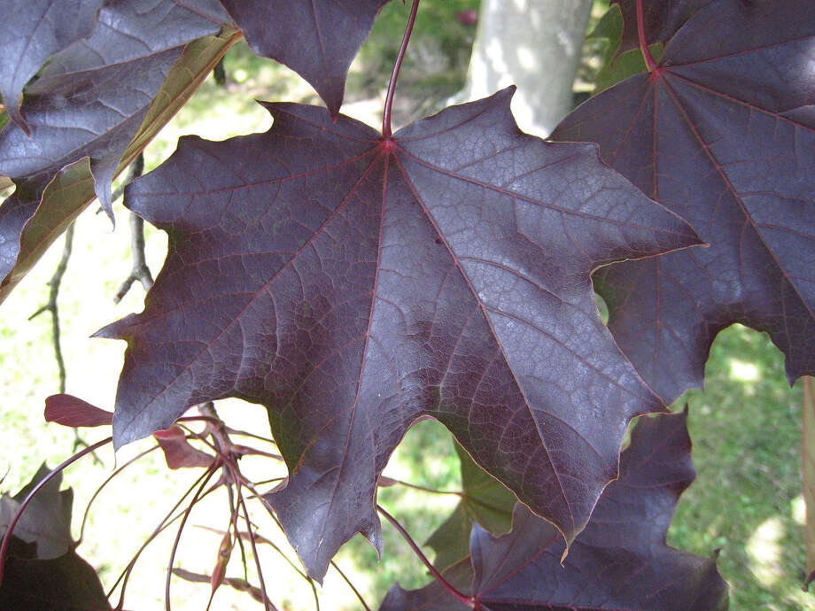 Crimson King maple (Matthieu Sontag/Wikipedia Commons)