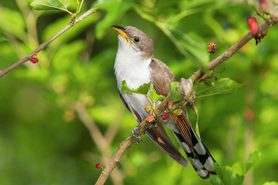 The yellow-billed cuckoo can be found in wooded areas near creeks or bayous. Photo: Kathy Adams Clark / Kathy Adams Clark/KAC Productions