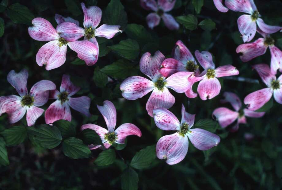 White dogwoods are more common, but those with pink bracts are equally beautiful. Photo: BRENDA BEUST SMITH / BRENDA BEUST SMITH