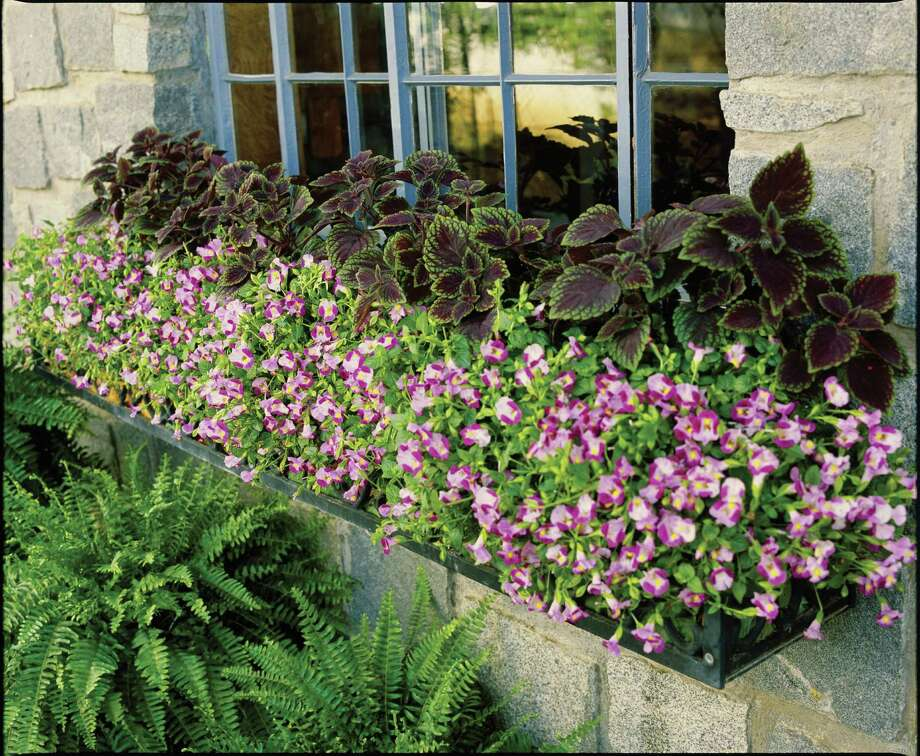 Pink torenia complements coleus in a shady window box.