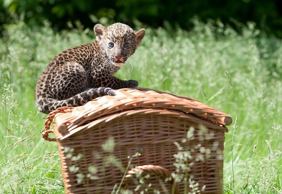 Whisker basket:We would go on more picnics if they all came with baby Javan leopards like Timang. (Tierpark Zoo in Berlin.) Photo: Joanna Scheffel, AFP/Getty Images