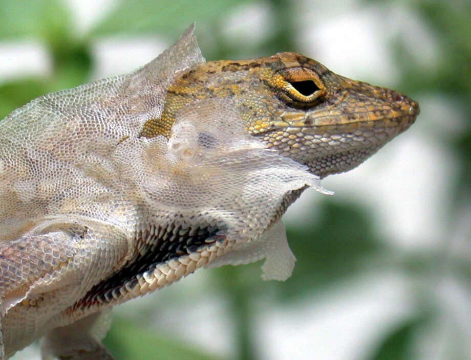 Have you ever seen a brown  Cuban Anole  shed its skin? Photo: WILFREDO LEE, STF / AP