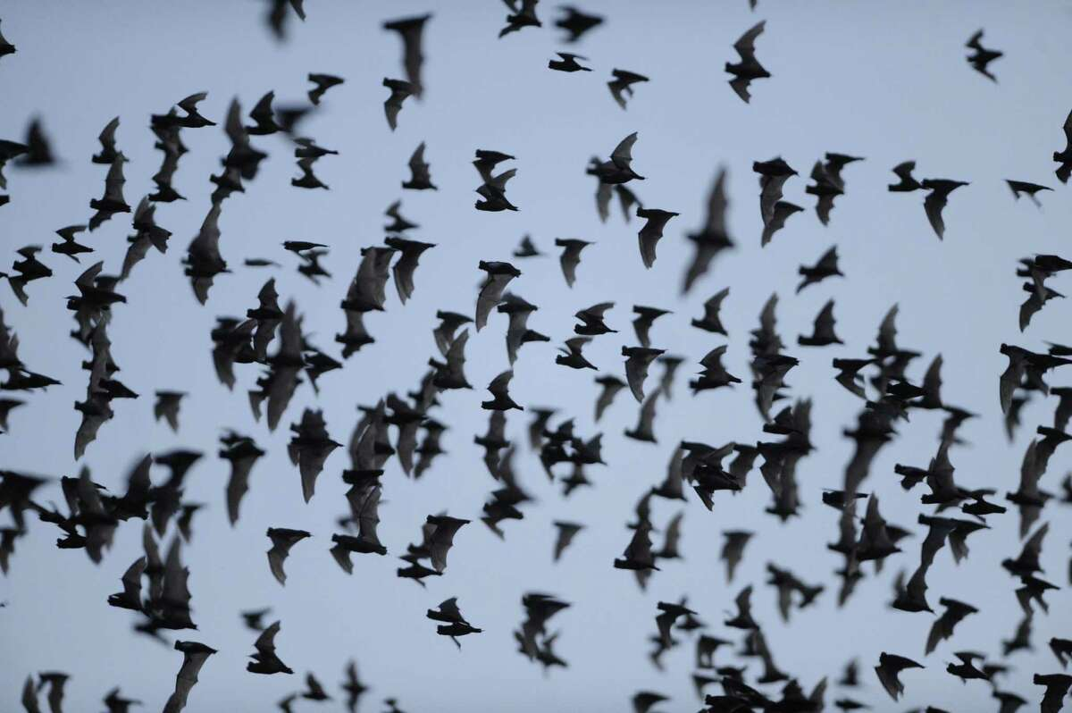 Millions of Mexican free-tailed bats emerge from the Bracken Bat Cave on recent evening.