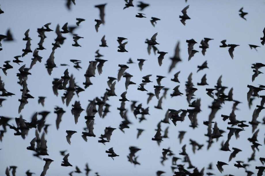 Millions of Mexican free-tailed bats emerge from the Bracken Bat Cave, about on recent evening. Photo: Billy Calzada, San Antonio Express-News