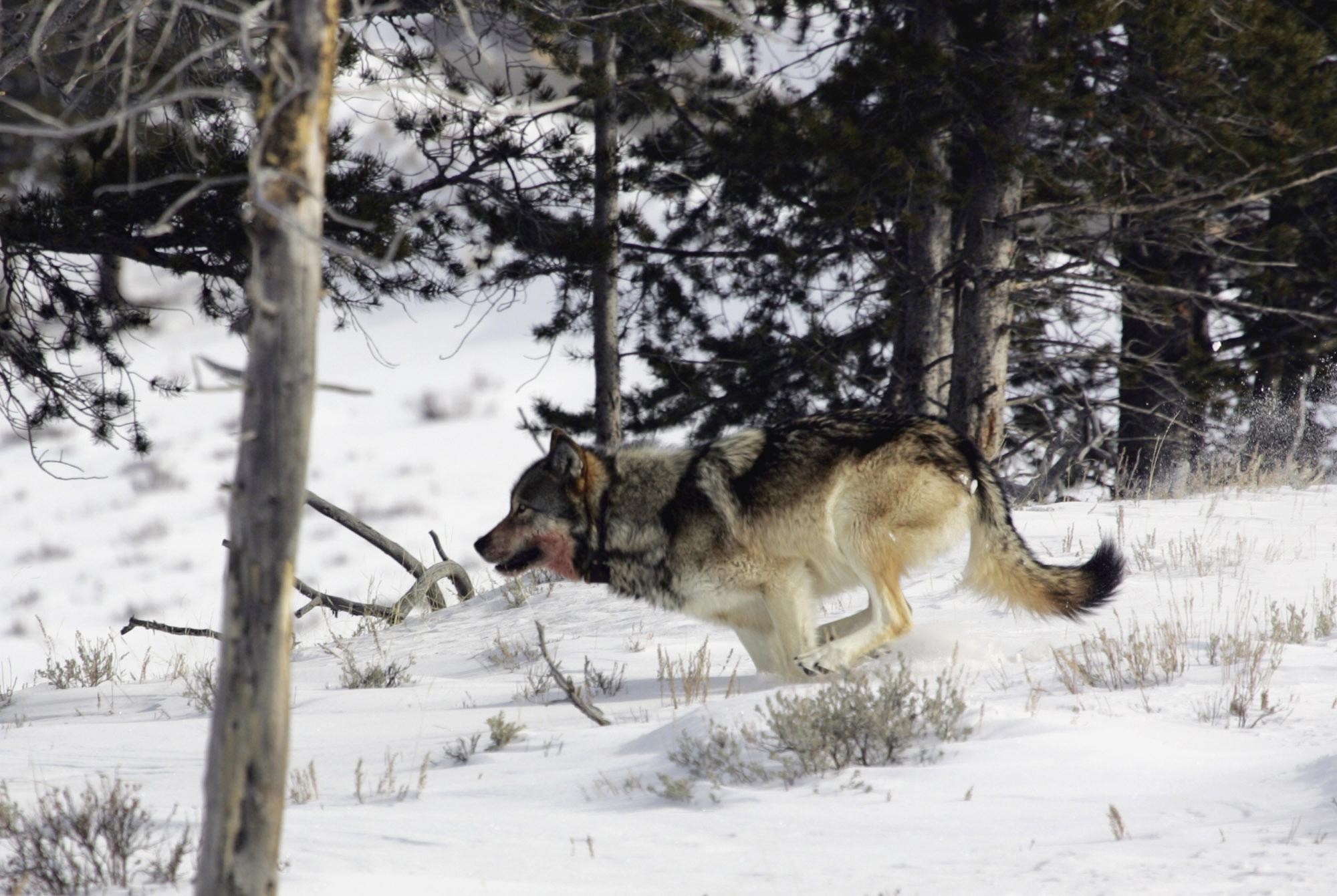 картинка как охотится волк зимой черта
