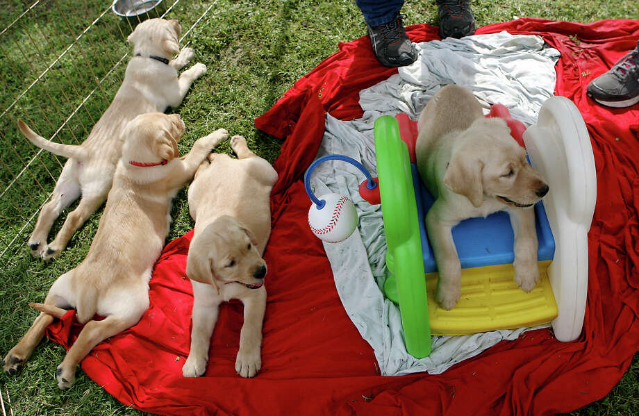 Guide Dogs of Texas (GDTX) celebrates its fifth litter of guide dog puppies from its breeding program, which plays a critical role in the guide dog school's ability to better serve a population of nearly 175,000 legally blind Texans. The puppies were handed over to volunteers who will raise the puppies for the next 18 months to prepare them for their formal guide dog training. Photo: Cynthia Esparza, For San Antonio Express-News / For San Antonio Express-News
