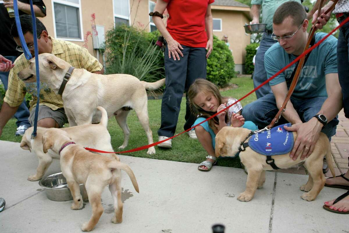 Guide Dogs of Texas (GDTX) celebrates its fifth litter of guide dog puppies from its breeding program, which plays a critical role in the guide dog school?s ability to better serve a population of nearly 175,000 legally blind Texans. The puppies were handed over to volunteers who will raise the puppies for the next 18 months to prepare them for their formal guide dog training.