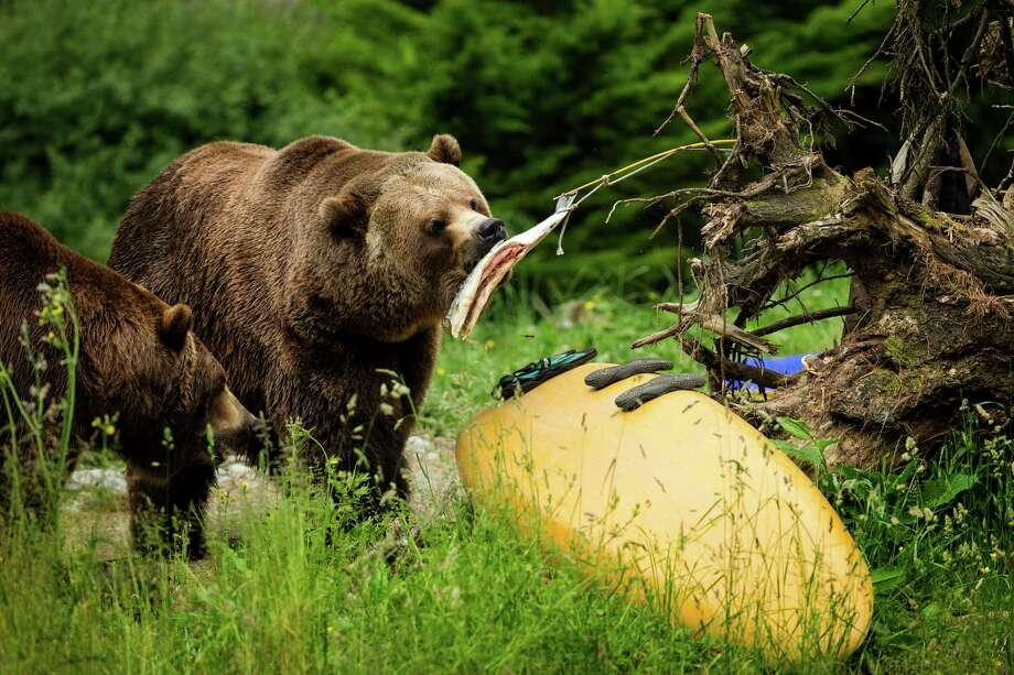 A pair of grizzlies tear at a hanging fish to show what can go wrong when food and garbage aren't stored properly in bear country during a mock campsite demonstration at Woodland Park Zoo's Bear Affair event Saturday, June 8, 2013, in Seattle. The event focused on bears, wolves, raptors and other Pacific Northwest wildlife and what these animals need to survive in the wild and how humans can co-exist. Photo: JORDAN STEAD, SEATTLEPI.COM / SEATTLEPI.COM