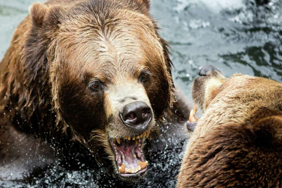 A pair of grizzlies play fight in the water after destroying a mock campsite demonstration at Woodland Park Zoo's Bear Affair event Saturday, June 8, 2013, in Seattle. The event focused on bears, wolves, raptors and other Pacific Northwest wildlife and what these animals need to survive in the wild and how humans can co-exist. Photo: JORDAN STEAD, SEATTLEPI.COM / SEATTLEPI.COM