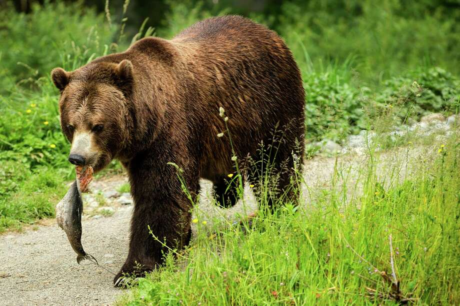 A grizzly carries a hanging fish back to eat to show what can go wrong when food and garbage aren't stored properly in bear country during a mock campsite demonstration at Woodland Park Zoo's Bear Affair event Saturday, June 8, 2013, in Seattle. The event focused on bears, wolves, raptors and other Pacific Northwest wildlife and what these animals need to survive in the wild and how humans can co-exist. Photo: JORDAN STEAD, SEATTLEPI.COM / SEATTLEPI.COM